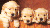 three golden puppies