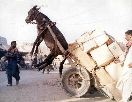 Ane y soit qui trop y charge ! dans Insolite (47) donkey